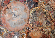 Petrified wood agglomerate Royalty Free Stock Photography