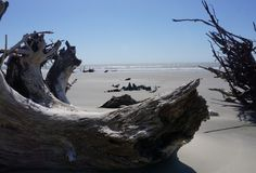 Petrified wood on Boneyard Beach on Capers Island South Carolina Royalty Free Stock Photography