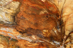 Petrified wood can occur in different colors Royalty Free Stock Photo