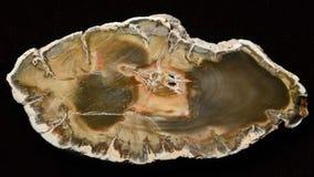 Petrified wood, polished slice on a dark background Stock Images