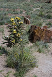 Petrified wood resting next to desert plants Royalty Free Stock Photography