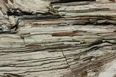 Petrified wood texture. The structure of the wooden surface that has petrified over time Royalty Free Stock Images