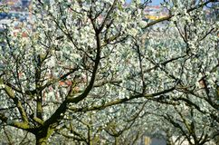 Petrin park and its cherry trees, Prague Royalty Free Stock Photography
