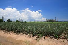 Petrochemical industry with pineapple field on blue sky. Petrochemical industry with pineapple field on blue sky royalty free stock images