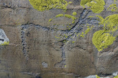 Petroglyph Altai. Rock paintings - hoofed animal Stock Photography