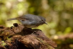 Petroica australis - South Island Robin - toutouwai - endemic New Zealand forest bird sitting on the branch in the forest royalty free stock photos