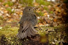 Petroica australis - South Island Robin - toutouwai - endemic New Zealand forest bird sitting on the branch in the forest.  royalty free stock photos