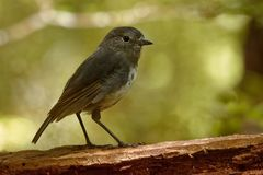 Petroica australis - South Island Robin - toutouwai - endemic New Zealand forest bird sitting on the branch in the forest royalty free stock photography
