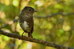 Petroica australis - South Island Robin - toutouwai - endemic New Zealand forest bird sitting on the branch stock images