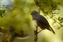 Petroica australis - South Island Robin - toutouwai - endemic New Zealand forest bird sitting on the branch in the forest.  stock images