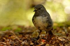 Petroica australis - South Island Robin - toutouwai - endemic New Zealand forest bird sitting on the branch in the forest stock photos