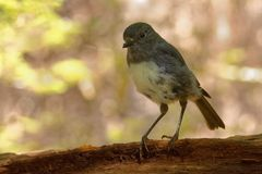 Petroica australis - South Island Robin - toutouwai - endemic New Zealand forest bird sitting on the branch in the forest stock image