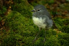 Petroica australis - South Island Robin - toutouwai - endemic New Zealand forest bird sitting on the grounde. In the forest Royalty Free Stock Photo