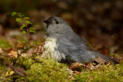 Petroica australis - South Island Robin - toutouwai - endemic New Zealand forest bird sitting on the grounde. In the forest royalty free stock photography