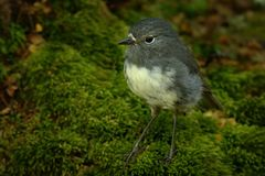 Petroica australis - South Island Robin - toutouwai - endemic New Zealand forest bird sitting on the grounde. In the forest royalty free stock photos