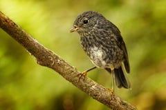 Petroica longipes -北岛罗宾- toutouwai -地方性新西兰森林鸟坐分支在森林里 库存图片