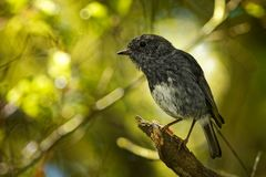 Petroica longipes - North Island Robin - toutouwai - endemic New Zealand forest bird sitting on the branch in the forest stock image