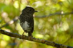 Petroica longipes - North Island Robin - toutouwai - endemic New Zealand forest bird sitting on the branch in the forest stock photo