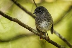 Petroica longipes - North Island Robin - toutouwai - endemic New Zealand forest bird sitting on the branch in the forest.  stock photos