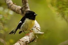 Petroica macrocephala macrocephala -南岛Tomtit - miromiro地方性新西兰森林鸟坐在f的分支 免版税图库摄影