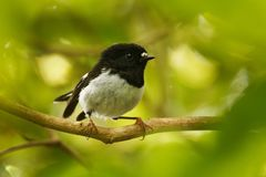 Petroica macrocephala toitoi - North Island Tomtit - miromiro endemic New Zealand forest bird sitting on the branch in the forest stock image