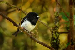 Petroica macrocephala toitoi - North Island Tomtit - miromiro. In New Zealand, endemic species stock images