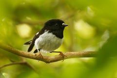 Petroica macrocephalatoitoi - den norr ön Tomtit - sammanträde för fågel för skog för miromiroendemisk nyazeeländskt på filialen  fotografering för bildbyråer