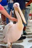 Petros il pellicano, Mykonos Fotografie Stock Libere da Diritti