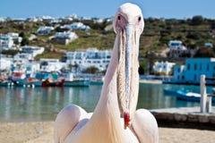 Petros o pelicano, Mykonos Imagens de Stock Royalty Free