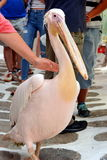Petros the pelican, Mykonos Royalty Free Stock Photos