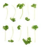 Petroselinum crispum parsley plant isolated Royalty Free Stock Image