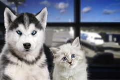 Pets at the airport. Traveling with a cat and a dog on the plane.  Stock Photography