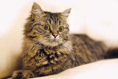 Pets animal cat portrait Royalty Free Stock Images