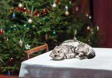 Pets in anticipation of Christmas and New Year. Sad cat lies on an empty celebratory table with Christmas tree in the background in anticipation of Christmas and stock photos