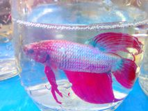 Pets bottle. Fighting fish those caudal fin red Royalty Free Stock Image