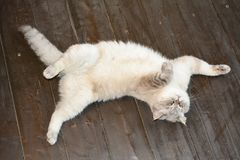 Domestic cat lies on a wooden floor royalty free stock image