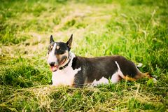 Pets Bull Terrier Dog Portrait At Green Grass Stock Photography