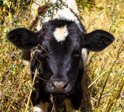 Pets calf hay. In the village Stock Photography