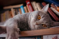 Pets: the cat plays on the shelf with books. Stock Photos