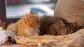 Two cats lying on blanket at home window sill. Pets, christmas and domestic animal concept - two cats lying on blanket with tealights and pinecone at home window stock video footage