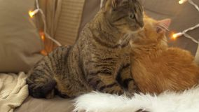 Two cats lying on sofa with sheepskin at home. Pets, christmas and domestic animal concept - two cats lying on sofa with sheepskin at home in winter stock footage