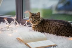 Tabby cat lying on window sill with book at home. Pets, christmas and hygge concept - tabby cat lying on window sill with book and garland lights at home Royalty Free Stock Photo