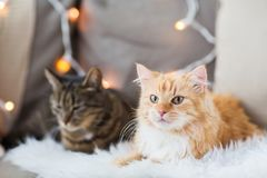 Two cats lying on sofa with sheepskin at home Stock Photos