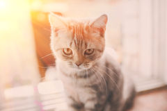 Pets, close up of unhappy angry scottish fold kitten on home background.  Stock Image