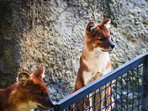 Pets of dhole Royalty Free Stock Images