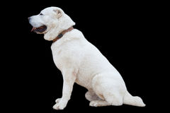 Pets - a dog on a black background. allaby Royalty Free Stock Images