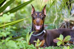 Pets dog breed doberman joyful in seeing his dome Royalty Free Stock Photo