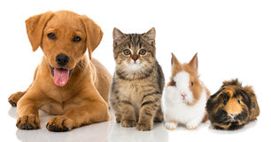 Pets. Dog, cat, rabbit and guinea pig isolated on white Royalty Free Stock Image