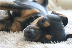 Pets dog friend sleep background stock image