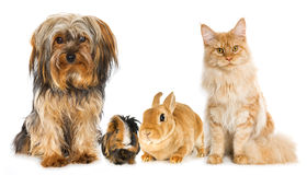 Pets. Dog, guinea pig, rabbit and cat isolatedon white Royalty Free Stock Photography